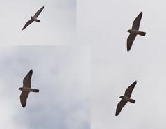 Grey Falcon - Falco hypoleucos (Mister Troy) Tags: birds australia nsw leeton fiveboughswamp greyfalcon falcohypoleucos