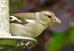 147/365: Chaffinch (Zenas M) Tags: urban garden bristol may birdfeeder feeder 365 fringillacoelebs chaffinch birdlife henleaze 2011 project365 147365