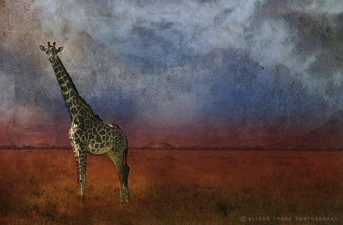 Giraffe by alison lyons photography