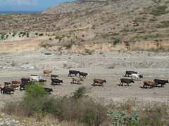 Cattle (leastlikely) Tags: cemetery haiti memorial massgrave taphophilia haitiearthquake