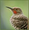 Flickr Portrait (TT_MAC) Tags: bird nature woodpecker flicker northernflicker colaptesauratus sookebc