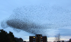 IMG_6328 (itchenbirds) Tags: starling winchester murmuration