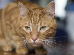 Billy (lauriepetsitterparis) Tags: mignon chat cute billy petsitter catsitter fauve cat miaou animal domestique