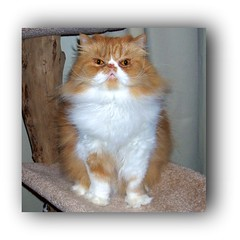 Toby (iwork4toby) Tags: friends red pet cat persian midwest flickr weekend persiancat redpersian velvetpaws luv2explore