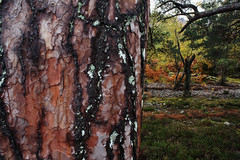 Patterns on the bark of the Scots pine photographed on the south-east bank of Loch Maree. (Shandchem) Tags: pine patterns bark loch scots maree