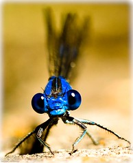 Blue Dragonfly (julesnene) Tags: blue macro insect damselfly eastbaypark handheldshot canoneos50d damselflyordragonfly julesnene juliasumangil