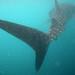 Whale Sharks - Gulf of Tadjoura, Djibouti