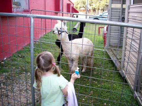 Lorelei with Alpacas