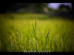 Green Bangla (Shabbir Ferdous) Tags: photographer bangladeshi wwwshabbirferdouscom shabbirferdouscom