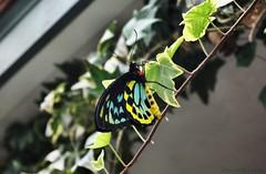 Cairns Birdwing Butterfly (vbd) Tags: butterfly ma pentax butterflies cairnsbirdwingbutterfly magicwingsbutterflyconservatory southdeerfieldma k200d ctflickrmeetup
