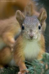 Baby Sciurus Vulgaris (BEZBERDY) Tags: red baby squirrel cube minsk vulgaris sciurus