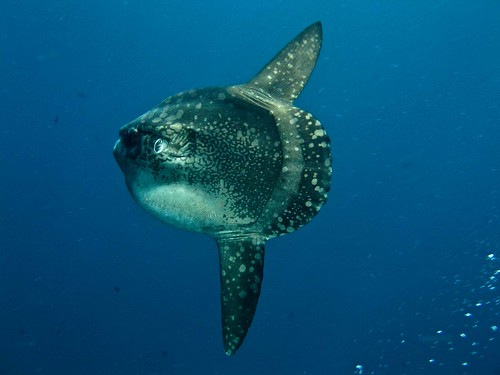 Another Great picture of Mola mola