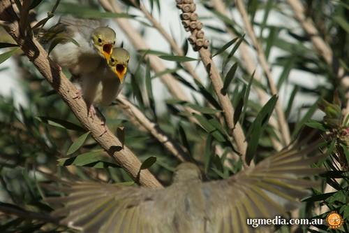 White-plumed honeyeater (Lichenostomus penicillatus)