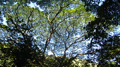 Amazing trees (titojuan) Tags: hawaii waipio waipiovalley