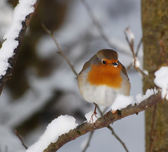 Robin (Faybalina) Tags: winter wild snow robin birds closeup january cannock chase