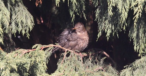 Blackbird Sunbathing