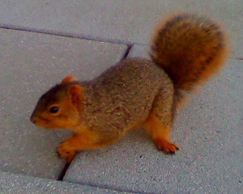 the other red squirrel