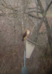 Perching hawk 1