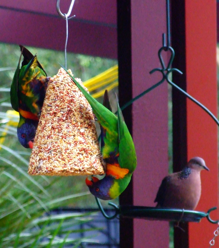 lorikeet acrobatics
