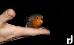 Rangy... (Roidos Dimitris) Tags: orange brown black bird canon greek hand little d small away greece 500 finally t1 heated dimitris flew 500d roidimitris t1i roidos
