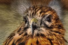 Hawk (Robert Myer) Tags: brown bird eye photoshop nikon hawk beak feathers raptor hawkeye