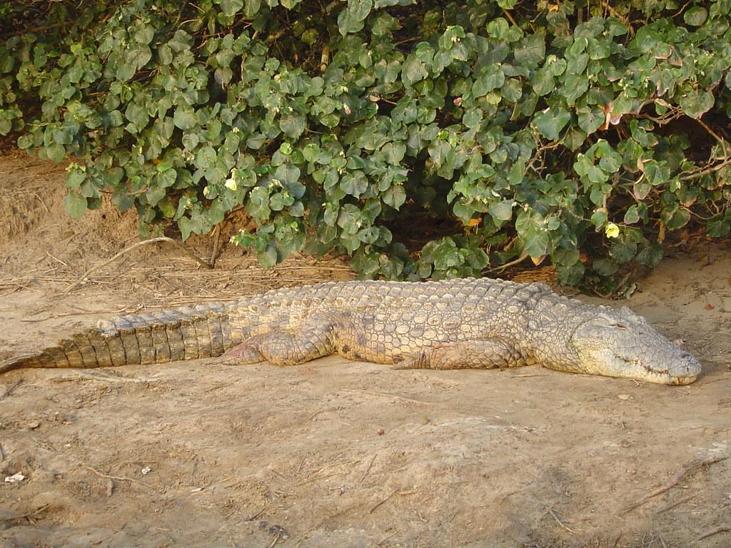 Hibiscus tiliaceus + Crocodylus niloticus - in situ St. Lucia, SA 16 Sept 2008 Job