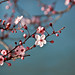 blossom by heathre