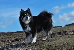 sky blue morning 9/52 (sure2talk) Tags: newforest 952 taivas finnishlapphund ldl nikond60 beautifulworldchallenges 52weeksfordogs nikkor1855mmf3556afs skybluemorning we732010