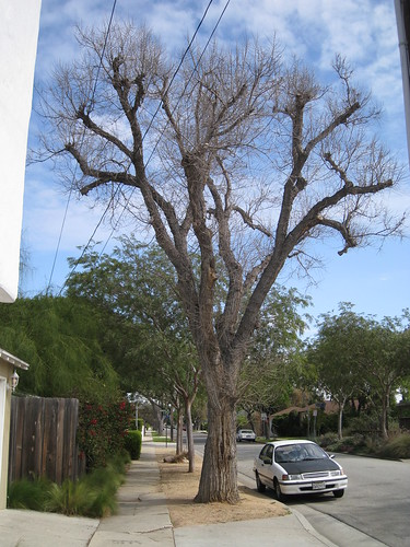 huge elm tree of unknown species