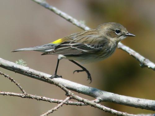 Yellow-rumped Warbler 20100228
