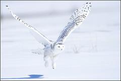 Owl (Snowy) - 1833 (Earl Reinink) Tags: flight raptor snowyowl snowyowlinflight earlreinink wwwearlreininkcom wwwipaintca