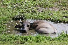 Young water buffalo (Antonio Giudici Butterfly Trips) Tags: thailand kohphangan waterbuffalo bubalusbubalis antoniogiudicibutterflytrips wwwantoniogiudicicom wwwthaibutterfliescom
