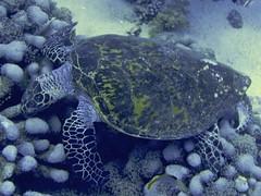 Totuga Carey (Eretmochelys Imbricata) (FRosselot) Tags: redsea scubadiving buceo marrojo