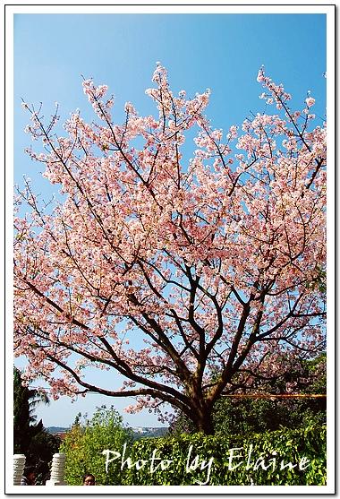最盛大的一株櫻花樹