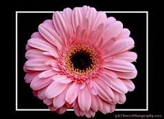 Single Pink Gerbera copy (chetty3) Tags: pink flowers canon framed gerbera single naturesfinest coth sigma105mmf28 supershot fantasticflower impressedbeauty eos40d theunforgettablepictures goldstaraward wonderfulworldofflowers theawardtree 100commentgroup theperfectpinkdiamond 100commentsgroup gfeffe