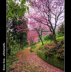 - separate path (kennymuz) Tags: pink flowers nature countryside spring scenery blossom path taiwan walkway sakura   hdr   3exposure canoneos50d kennymuz  kenthung