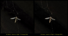 fotoopa 20100326_483 (fotoopa) Tags: macro insect mirror inflight stereoscopic stereophotography 3d crosseye crosseyed insects stereo thuis highspeed threedimensional crossview flyingobjects 3dmacro highspeedmacro stereodatamaker fotoopa frontmirror dslrstereo frontsidemirror 3dinsects 3dinflight diylaser crosseyedphotography