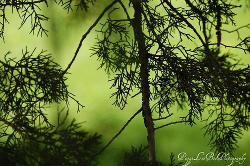 cedargreen