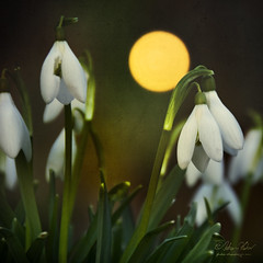 Fool Moon for April Fool (fesign) Tags: flowers spring fullmoon snowdrops aprilfool foolmoon