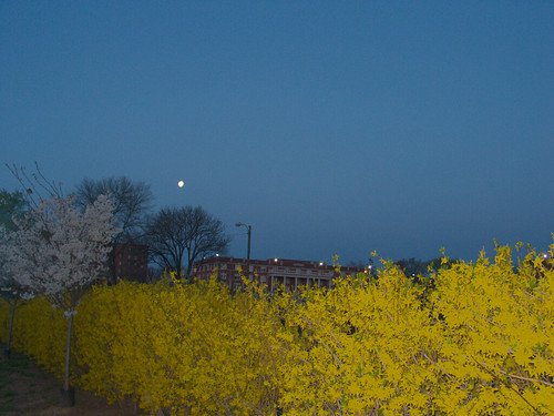 Moon with Cherry and Forsythia Blossoms