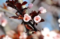 blossom (malinawelman) Tags: pink cherry blossom young twin fresh