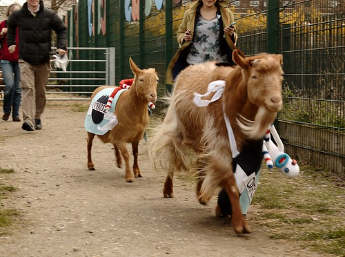 The Goat Race