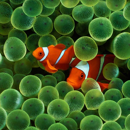 Clown Fish iPad Wallpaper