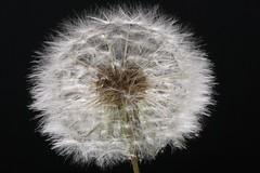 Dandelion Clock (Dom LeGros) Tags: stilllife macro nature nikon sb800 strobist sigma70mmmacro