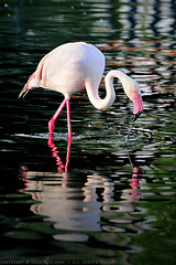 { Flamingo bird ~ (Salamah.y) Tags: bird birds flamingo        salamahy