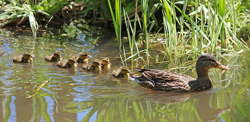 Ducklings in our pond 1