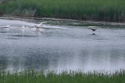 Swan Chasing Goose DSC_4600