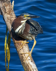 Green Heron (Butorides virescens) Santa Margarita Lake, CA. (Donald Quintana Nature Photography) Tags: ocean blue fish green bird beach heron nature water ecology animal neck fly wings pond little florida outdoor wildlife flight beak feathers young feather chick swamp everglades perch catch tropic environment cypress marsh wade prey behavior habitat copy climate avian hunt wetland isolate sanluisobispocounty greenback butorides fireflag greenbacked santamargaritalake vrescens