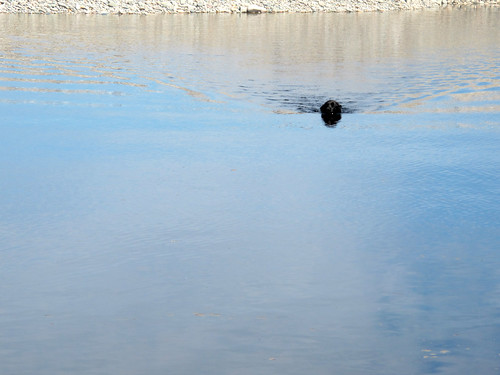 Cosmo Swimming in photo by Shelagh Duffet