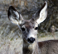ALL THE BETTER TO HEAR YOU ... (Aspenbreeze) Tags: muledeerdoe doe deer muledeer ears wildlife coloradowildlife nature animal fur bevzuerlein aspenbreeze moonandbackphotography